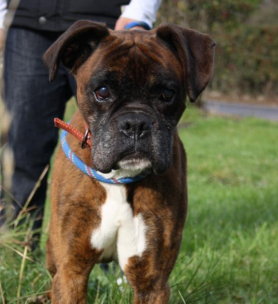 Ollie 8-ish yr old boxer - Liverpool O
